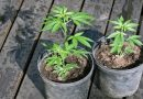 Growing Marijuana at Home